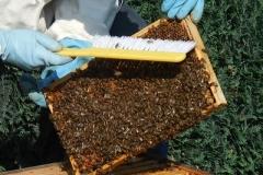 Honigwabe mit Bienen besetzt