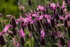 Französischer Lavendel (Lavandula dentata)