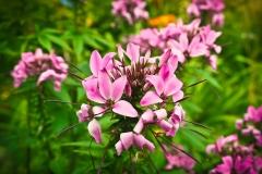 Spinnenblume (Tarenaya hassleriana)