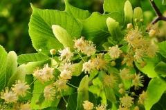 Sommerlinde (Tilia platyphyllos)