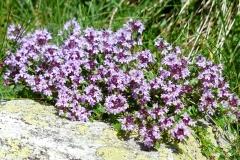 Breitblättriger Thymian (Thymus pulegioides)