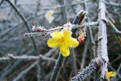 Echter Winterjasmin (Jasminum Nudiflorum)