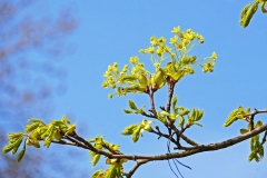 Berg-Ahorn (Acer pseudoplatanus)