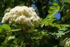 Vogelbeere (Sorbus aucuparia)