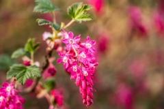 Johannisbeere (Ribes)
