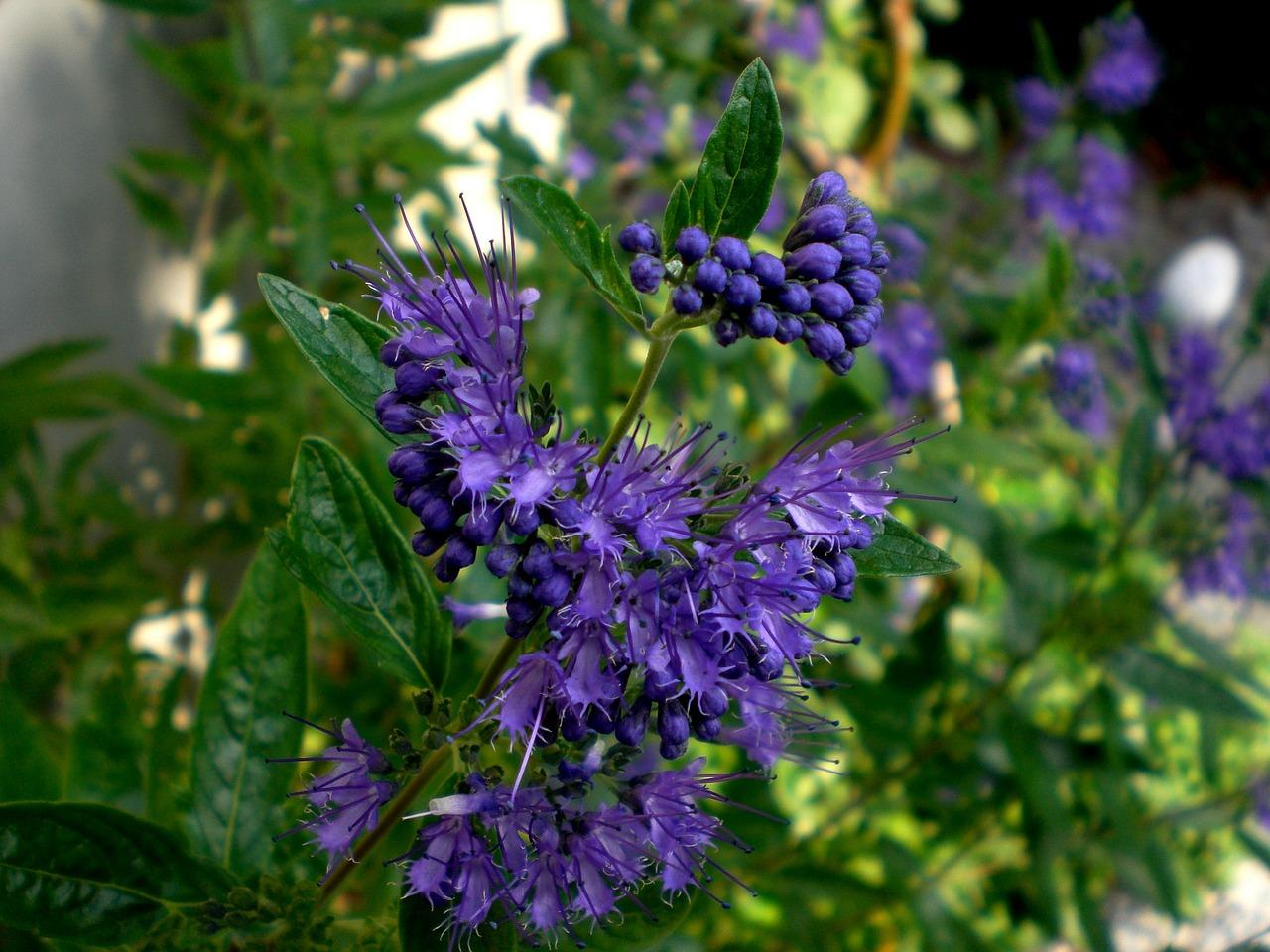 Clandon-Bartblume (Caryopteris)
