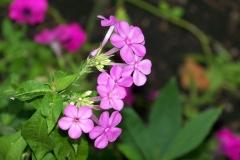 Polster-Phlox (Phlox subulata)