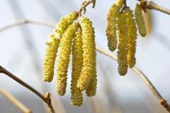 Gemeine Hasel (Corylus avellana)