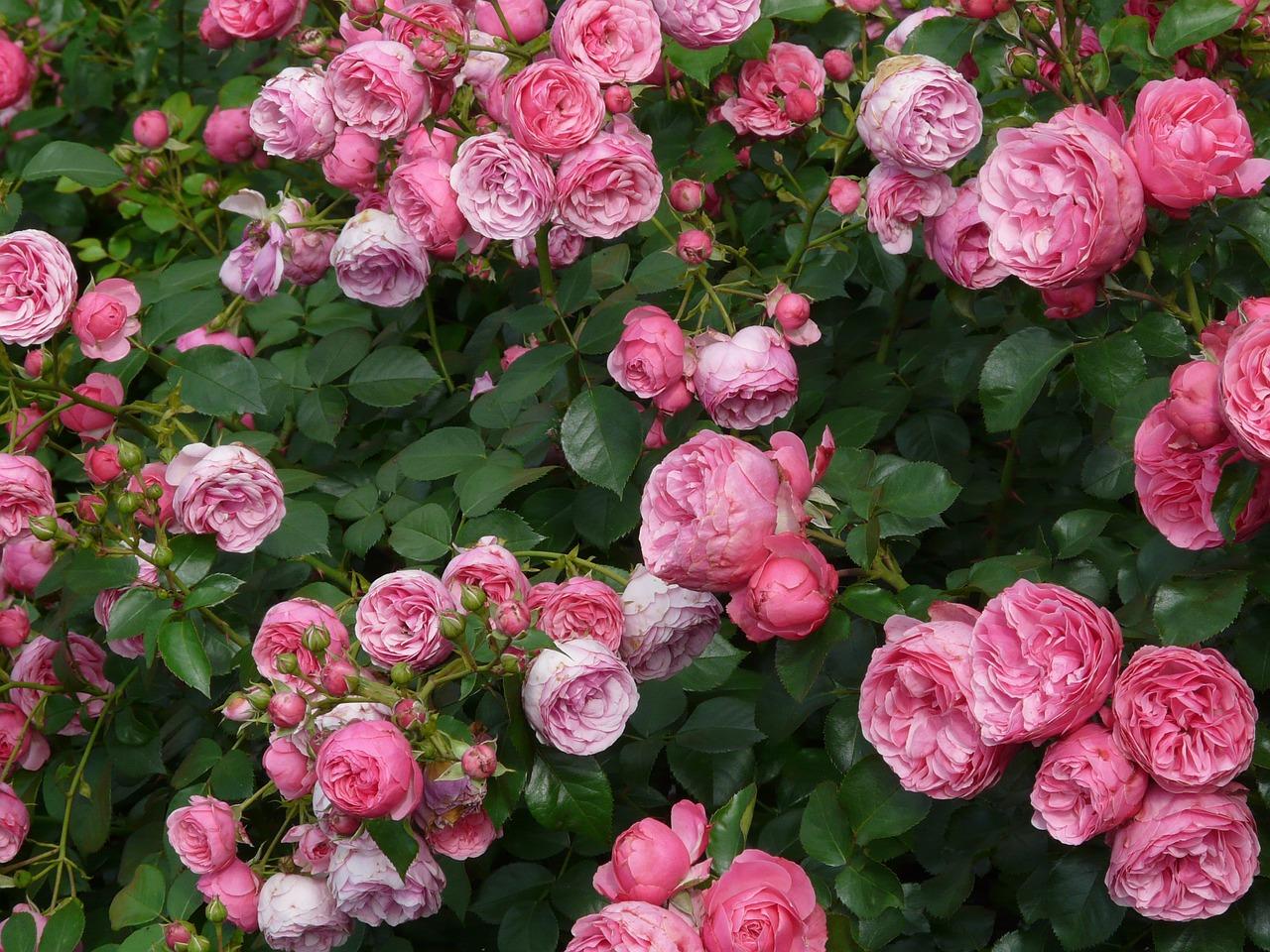 Strauchrose (Rosa)