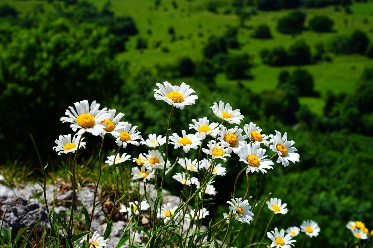 Straußblütige Wucherblume (Chrysanthemum corymbosum L.)
